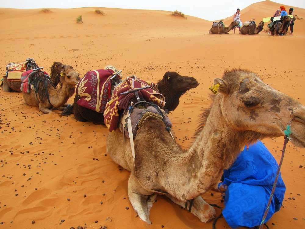 Fantastic Friday – 15 Reasons to Love a Camel