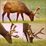 Fantastic Friday Elk near Jasper