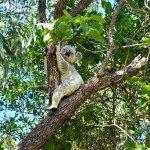 Koalas on the Forts Walk Magnetic Island