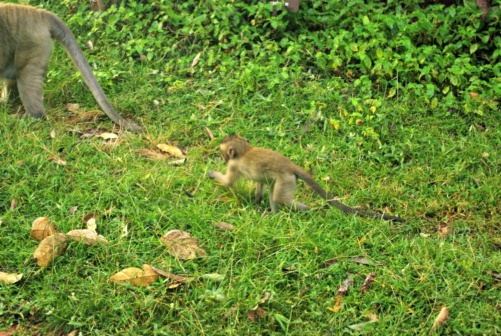 Monkeys by the Angkor Wat Moat