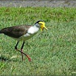 About Townsville – Plover on the Prowl at Lucinda