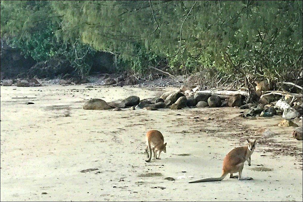 Cape Hillsborough Beach Kangaroos