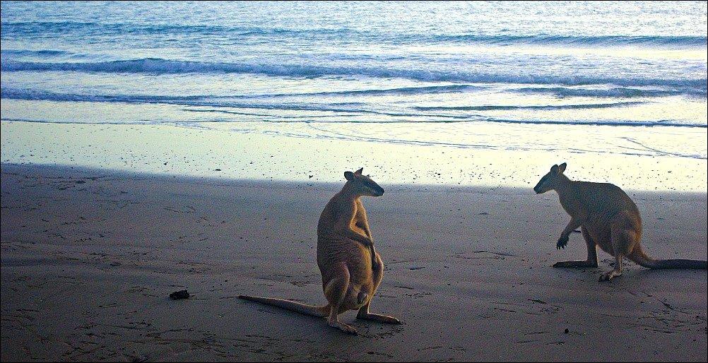 Cape Hillsborough Kangaroos at Dawn