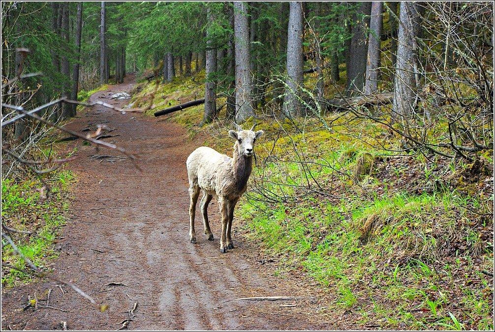 Big Horn Sheep Lake Minnewanka Hike Banff Canada