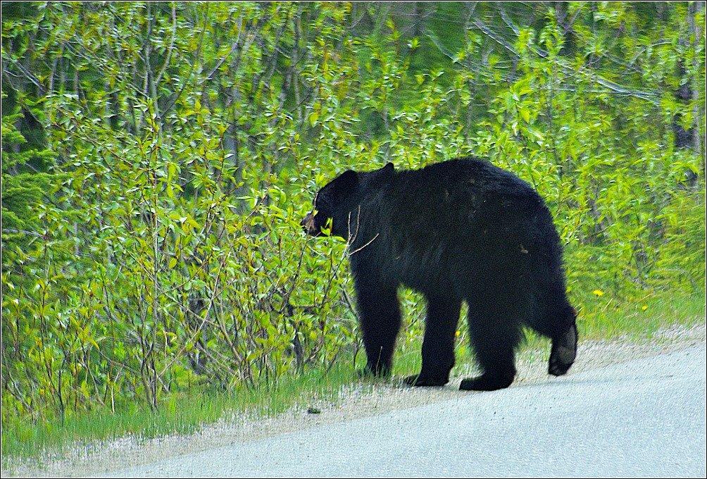 Brown Bear near Emerald Lake