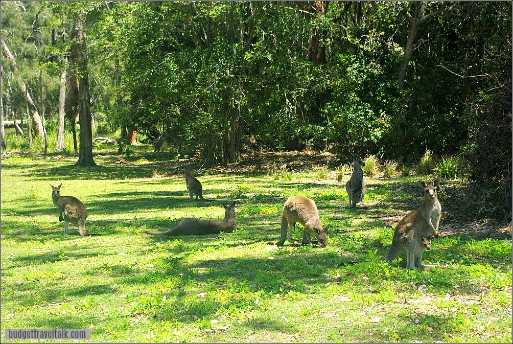 Durras North Kangaroos on Foreshore