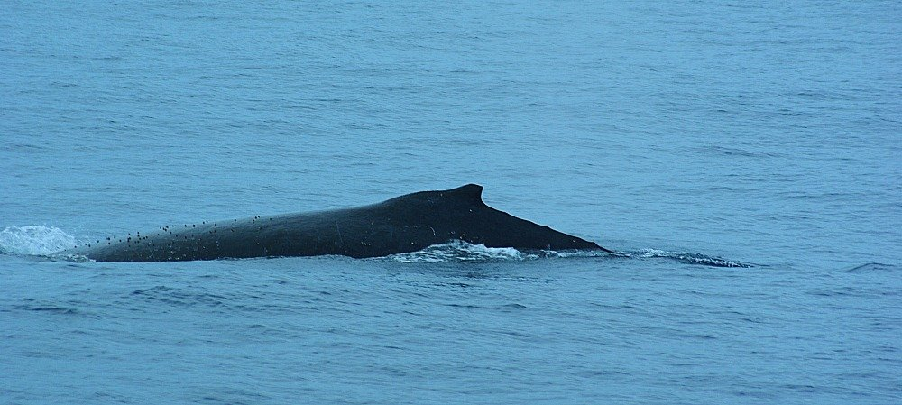 Humpback Whale Watching on the Gold Coast of Queensland Australia
