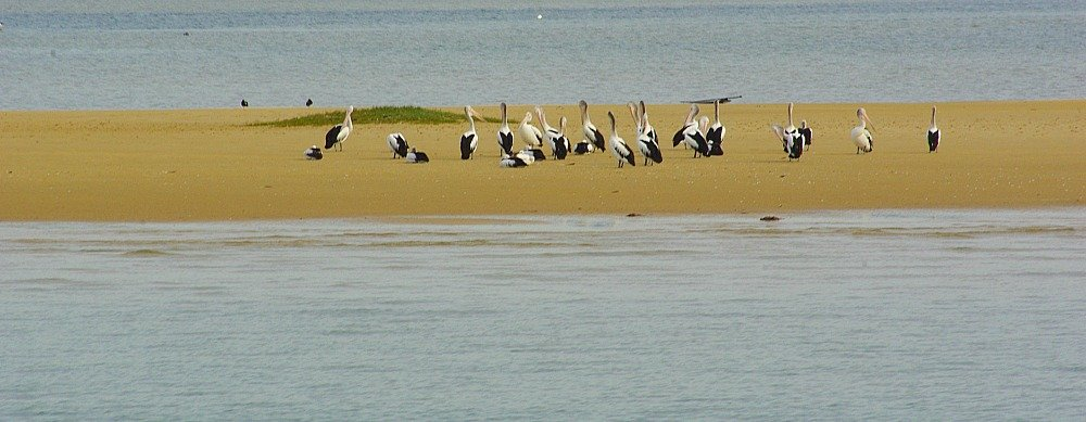 We saw Pelicans from our what watching boat on the Gold Coast