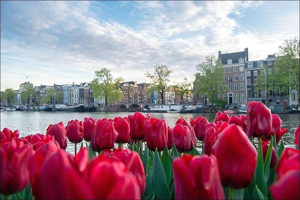 This photo of tulips in Amsterdam Netherlands accompanies a story about eating cheap indonesian food in Amsterdam